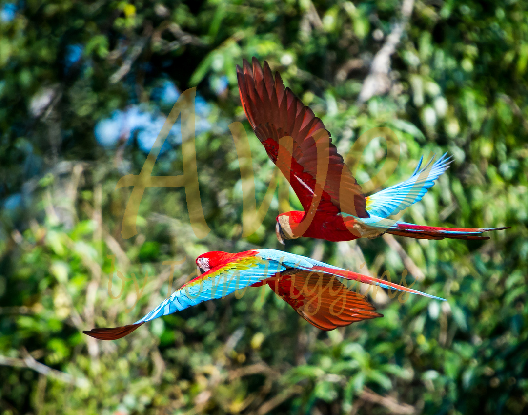 Macaw, Thomas P Higgins, Awe Photo
